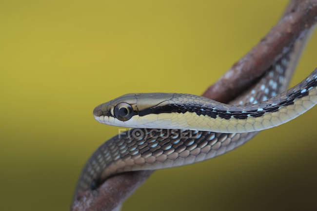 Primo piano di un serpente sul ramo, sfondo sfocato — Foto stock