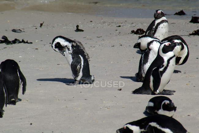Группа красивых Jackass пингвинов в дикой жизни — стоковое фото