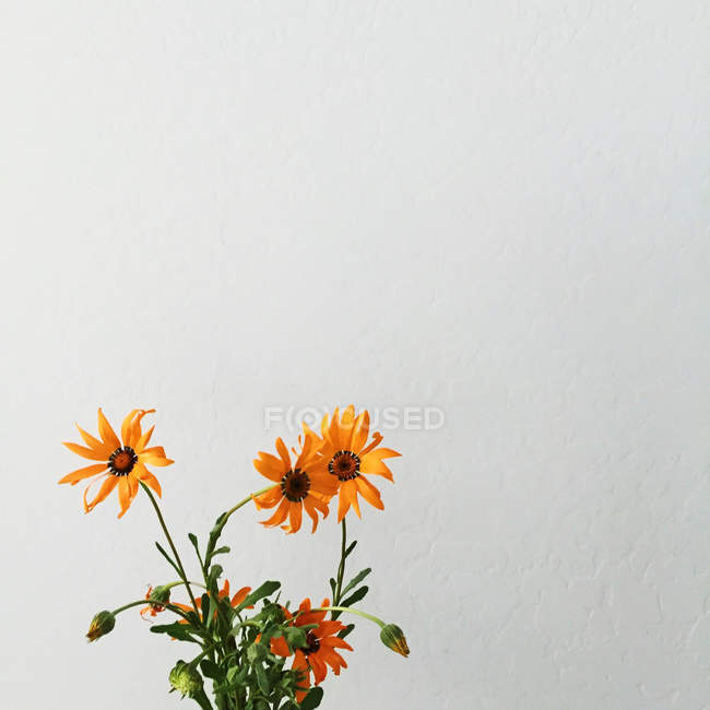 Fresh Orange flowers on white background — Stock Photo
