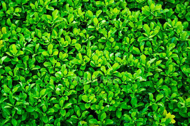 Close-up of fresh green hedge, background — Stock Photo
