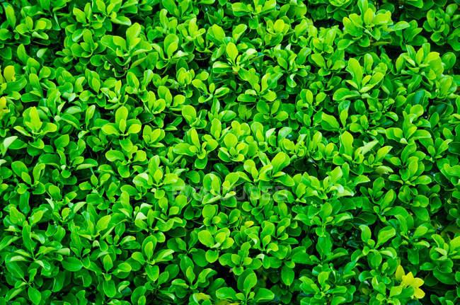 Primer plano de cobertura verde fresca, Fondo - foto de stock