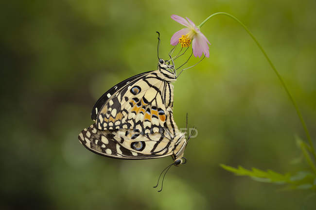 Две бабочки спаривания на розовый цветок крупным планом — стоковое фото