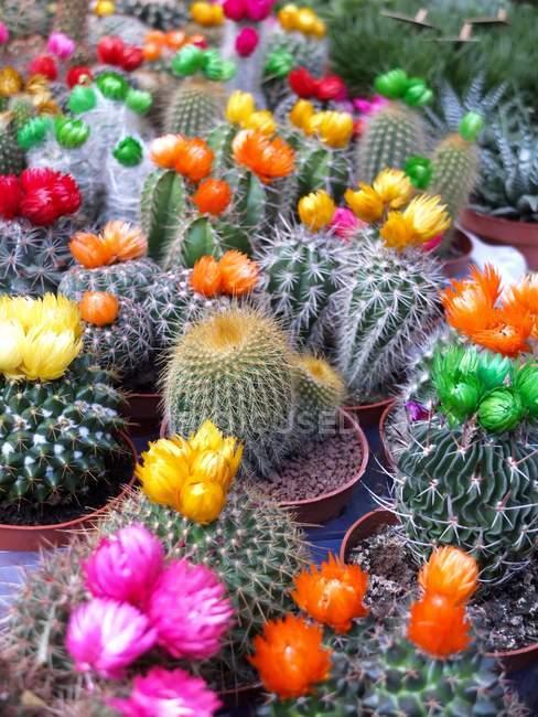 Vista do close-up de cactos em flores — Fotografia de Stock