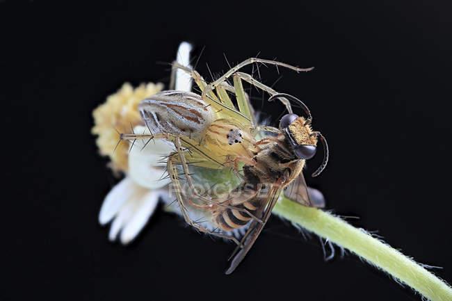 Gros plan d'araignée sur la feuille avec des proies sur fond noir — Photo de stock