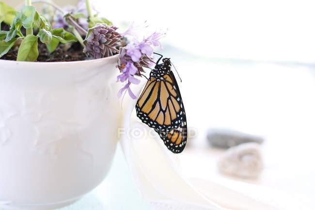 Бабочка монарх, сидя на горшках — стоковое фото