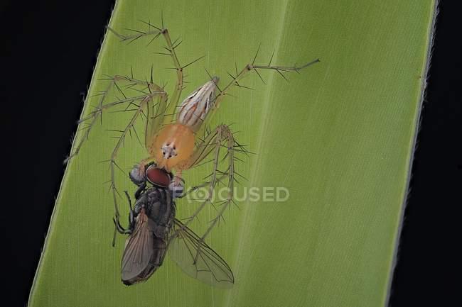 Закри павука на лист проведення здобич — стокове фото