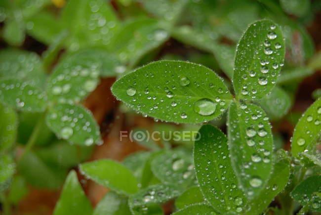 Image gros plan des gouttes de pluie sur le trèfle feuilles — Photo de stock