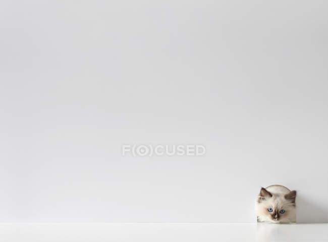 Ragdoll Kätzchen Katze spähen durch ein Mauseloch — Stockfoto