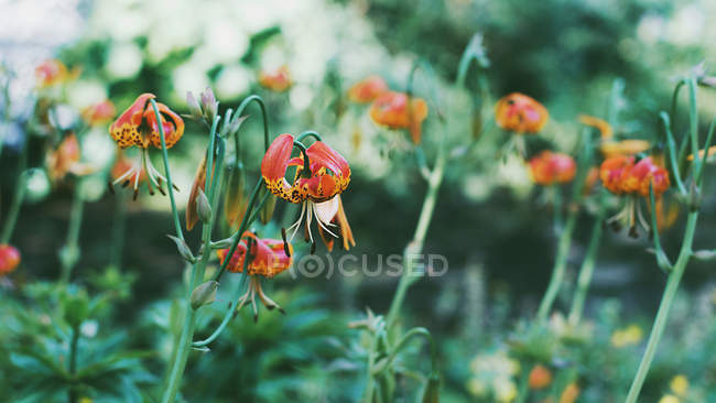 Tiger lily flowers growing in a garden — Stock Photo