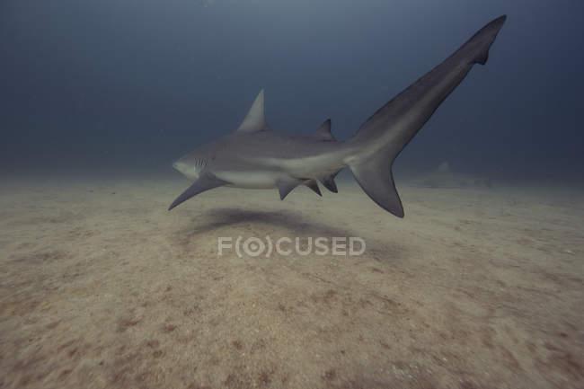 Bull Shark nuotare sopra il fondo dell'oceano — Foto stock