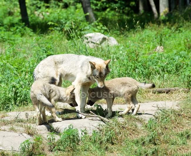 Женщины волка с двух щенков в природе — стоковое фото