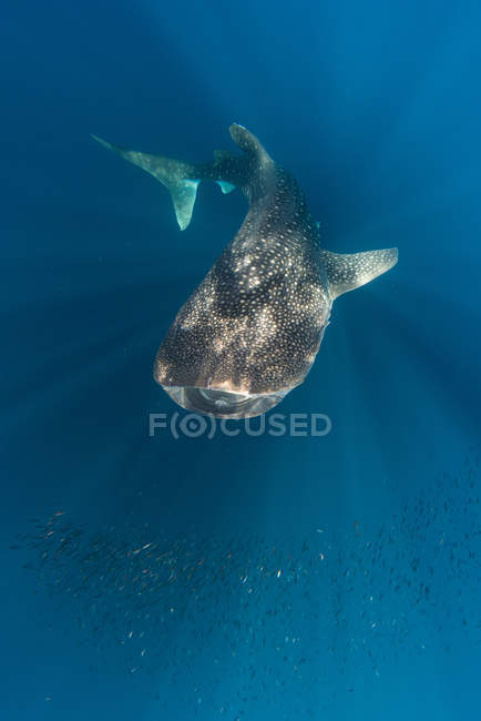Whale shark and school of small fish — Stock Photo