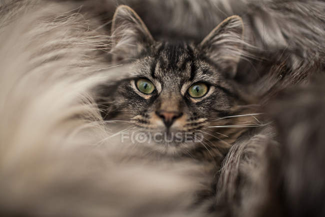 Primo piano del gatto adorabile che si trova nel pelo del tappeto — Foto stock