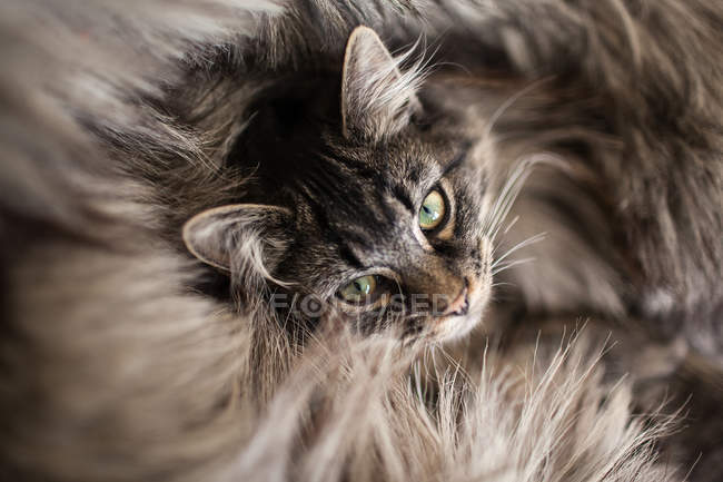 Closeup of adorable cat lying in fur of rug — Stock Photo