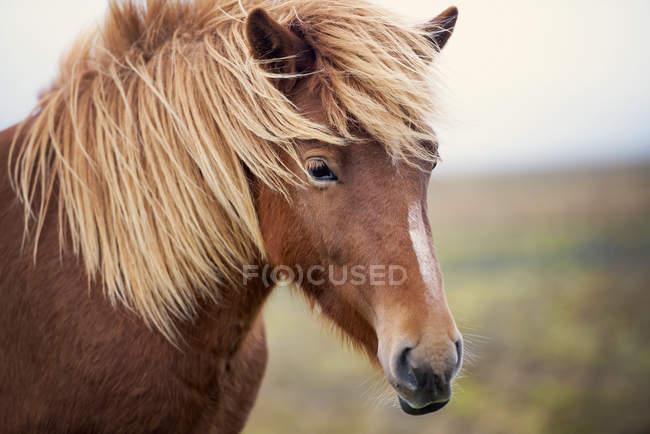 Close-up portrait of beautiful Icelandic horse, Iceland — Stock Photo