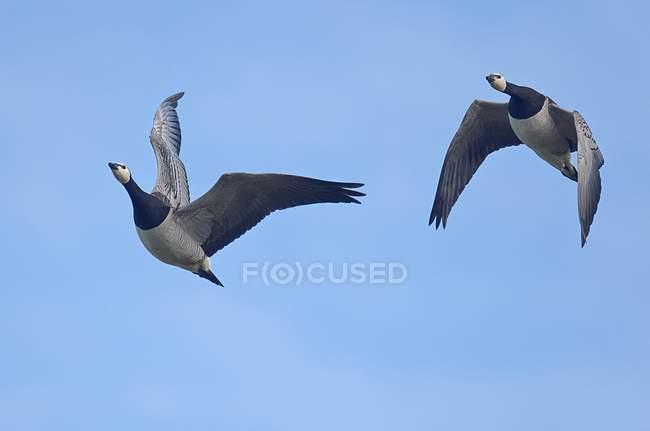 Пара белощекие птахи літають в Синє небо — стокове фото