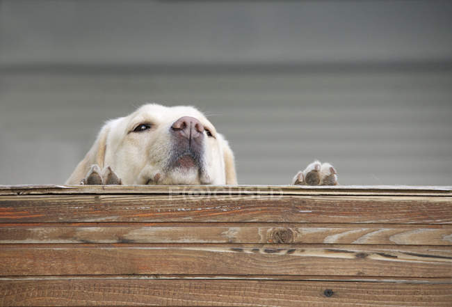 Cute adorable dog looking over fence — Stock Photo