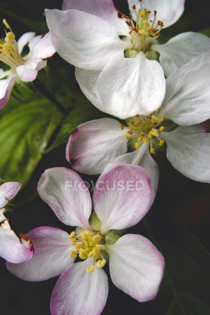 Цветы макро Яблоневый цвет на черном фоне — стоковое фото