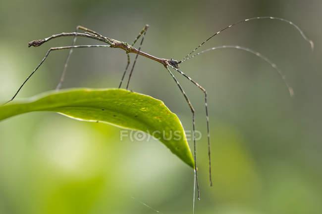 Stick insecto en la hoja contra el fondo borroso - foto de stock