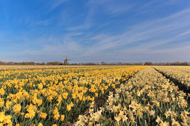 Поле нарциссов с ветряную мельницу в расстоянии, Нидерланды — стоковое фото