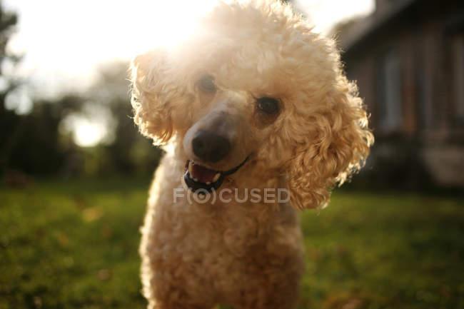 Portrait d'un adorable chien caniche souriant à l'extérieur — Photo de stock