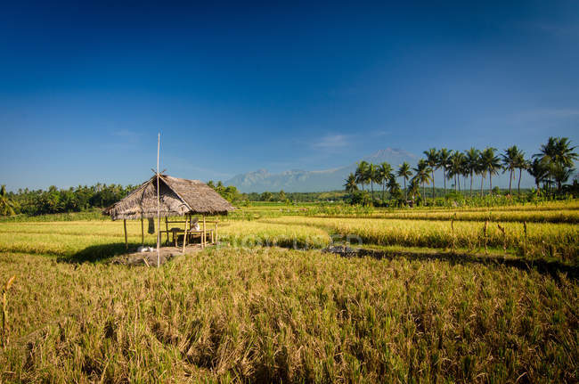 Індонезія, Ломбок, мальовничим видом соломи Хата у рисовій плантації — стокове фото