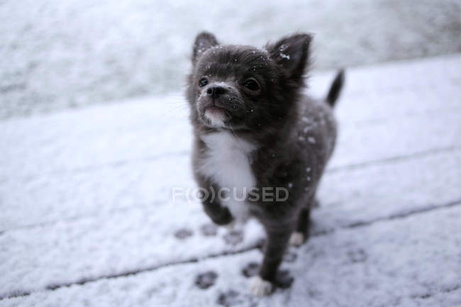 Adorable black Chihuahua dog playing in snow — Stock Photo