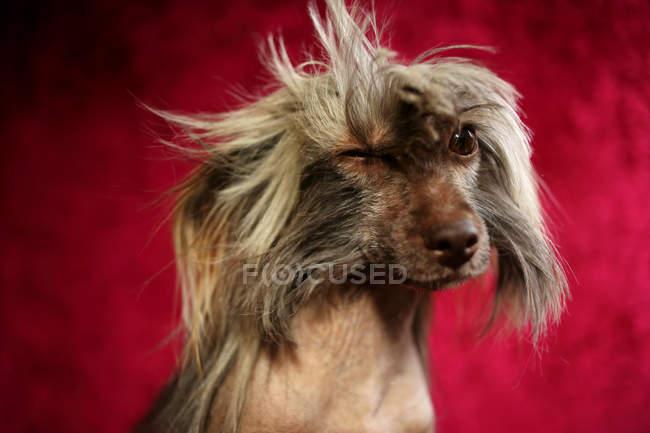 Retrato de um cão de crista chinesa piscando no fundo vermelho — Fotografia de Stock