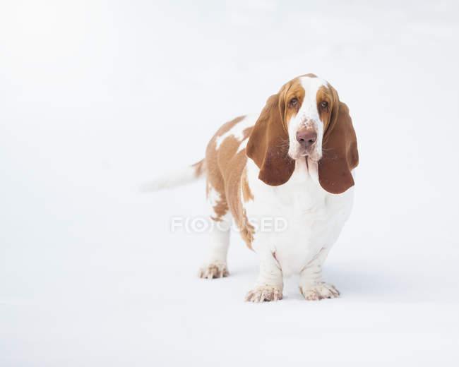 Ritratto di un cane bassotto su sfondo bianco — Foto stock