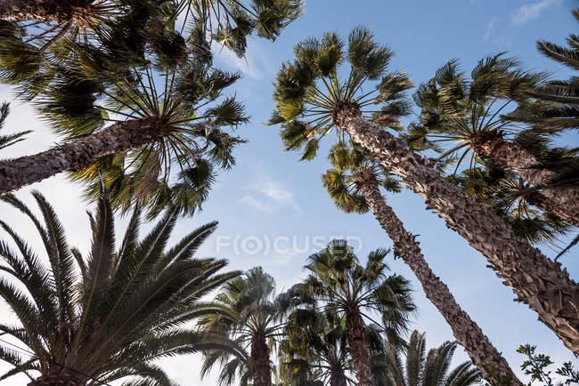 Inquadratura dal basso di palme sotto cielo blu — Foto stock