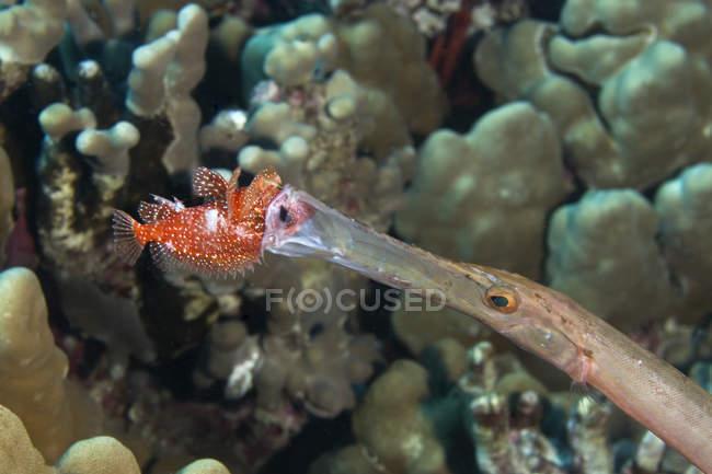 Nahaufnahme von Trumpetfish Essen galaktischen Drachenköpfe unter Wasser — Stockfoto