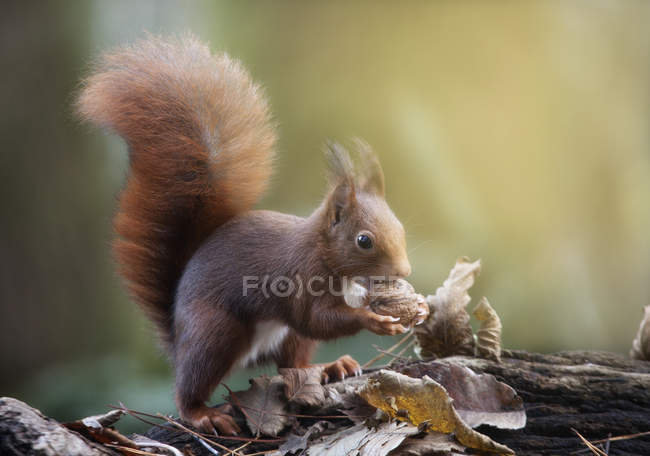 Cute little curious squirrel eating nut against blurred background — Stock Photo