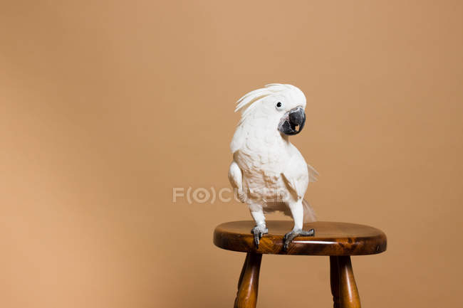 Retrato de una cacatúa de cresta blanca sentada en una silla - foto de stock
