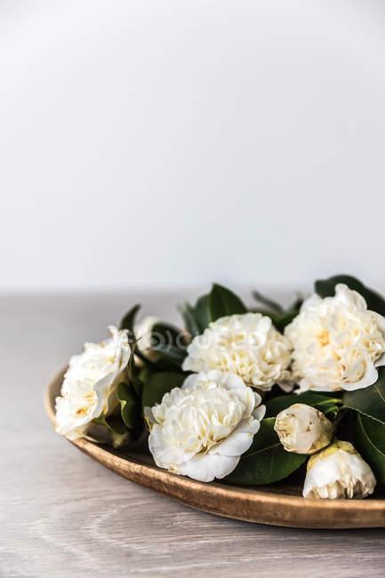 Platter of camellia flowers on white background — Stock Photo