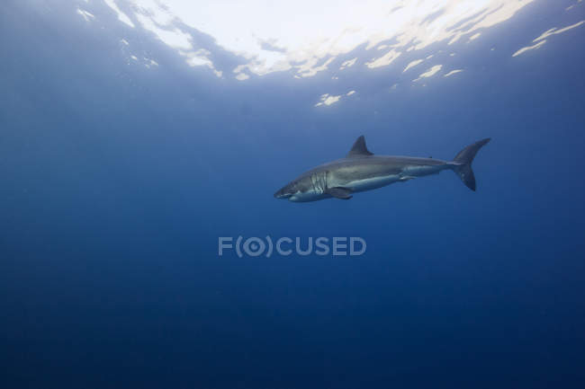 Great white shark swimming in sea under water — Stock Photo