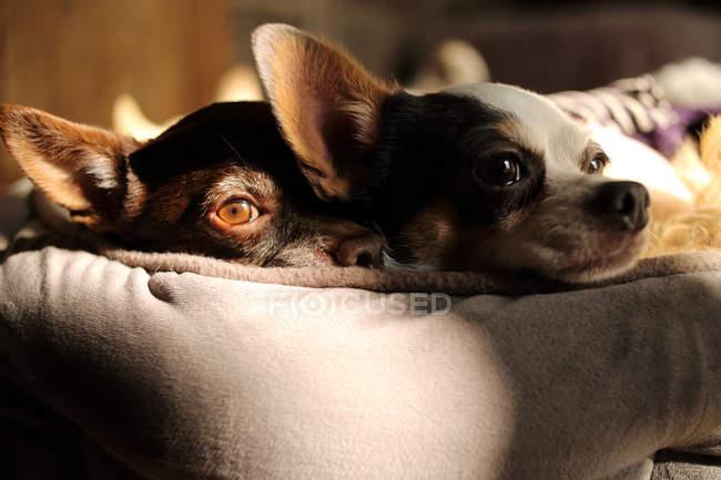Dois cães adoráveis deitados na cama, close-up — Fotografia de Stock