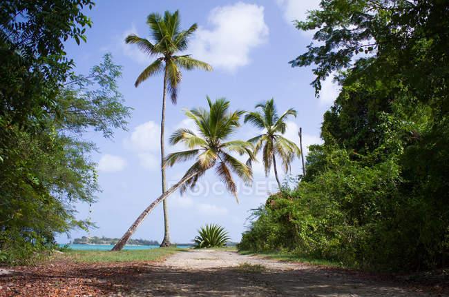 Palmen auf Fußweg auf sonnigen Tag, Antigua und Barbuda, Karibik, Antigua — Stockfoto