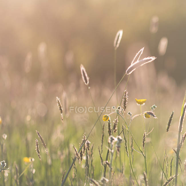 Close-up de grama e buttercups na luz do sol hora de ouro — Fotografia de Stock