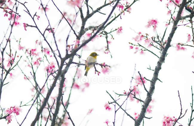 Oiseau gonflé perché sur une branche de cerisier, Japon — Photo de stock