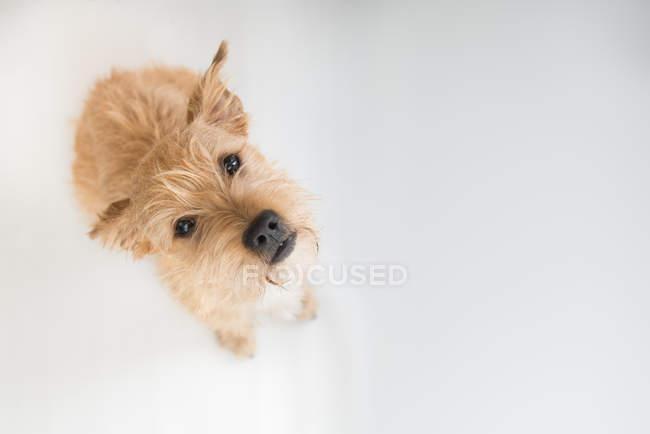 Ritratto di un cane terrier irlandese alzando lo sguardo, sfondo bianco — Foto stock