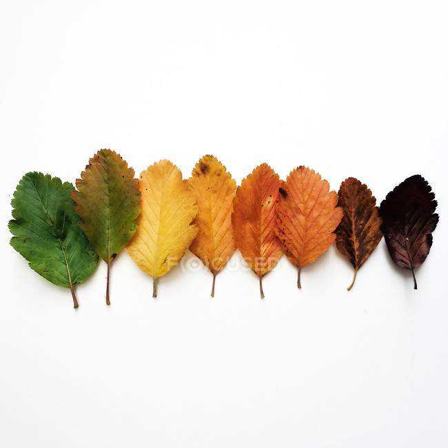 Colorful autumn leaves in a row against white background — Stock Photo