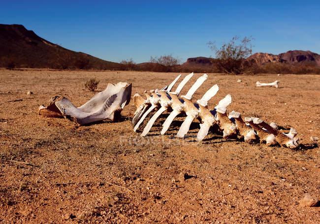 Vue panoramique du squelette animal dans le désert, Harquahala, Arizona, USA — Photo de stock