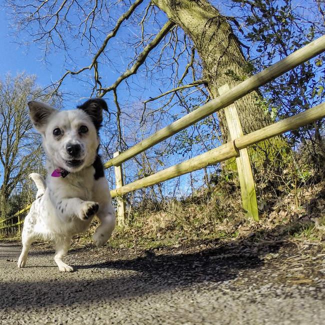 Jack Russell chien courir dans la campagne — Photo de stock