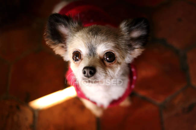 Close-up of Chihuahua Dog in red sweater looking up — Stock Photo