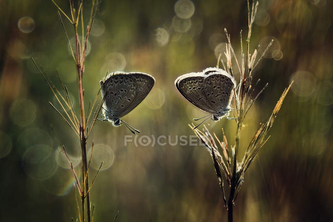 Two butterflies on plant against blurred background — Stock Photo