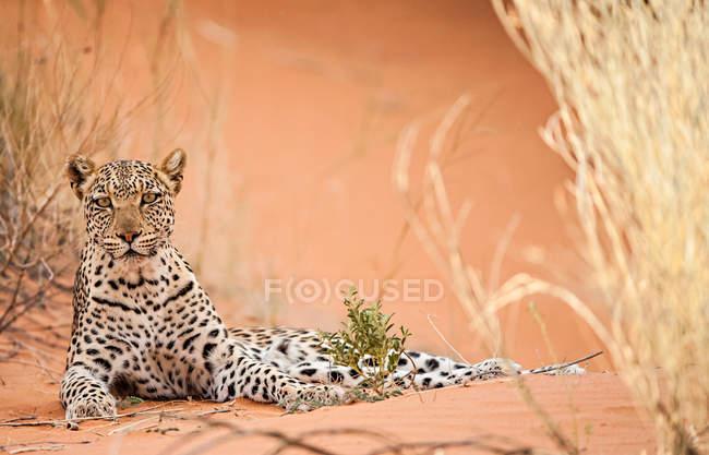 Alertou o leopardo deitado no chão e olhando para a câmera — Fotografia de Stock