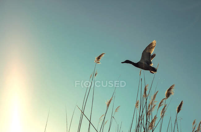 Low angle view of a duck flying under sky — Stock Photo