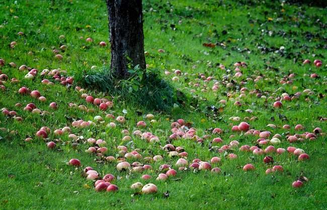 Яблоки под яблоней в осенний сезон — стоковое фото