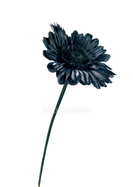 Close-up of black flower on white background — Stock Photo