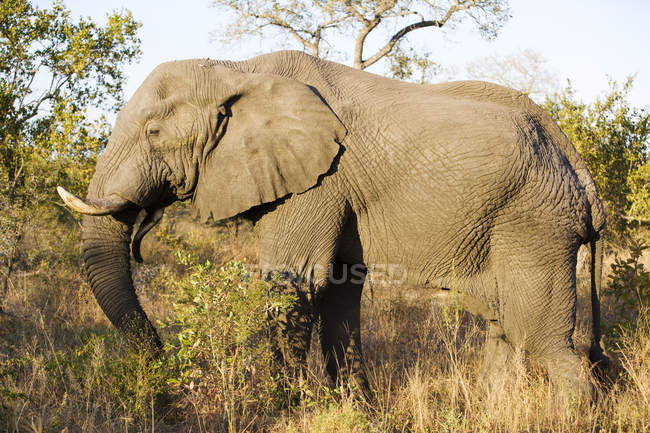 Beautiful elephant feeding at wild nature — Stock Photo